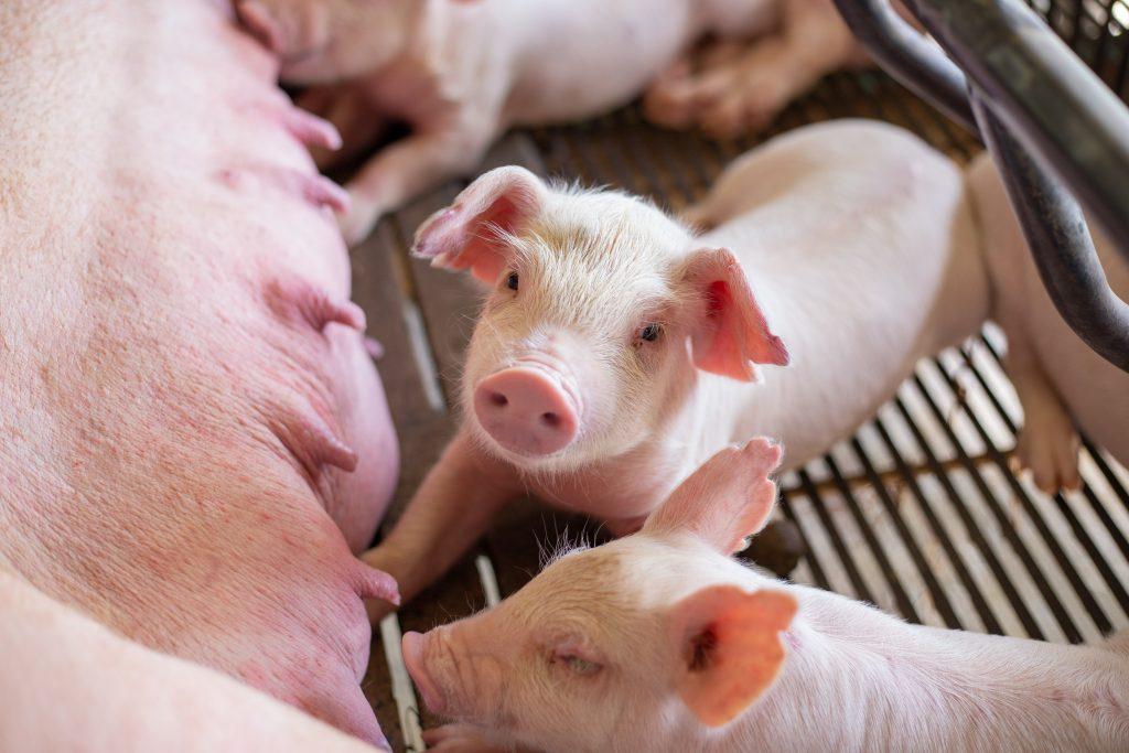 Castrolanda investe em bem-estar animal para gerar mais produtividade e desempenho