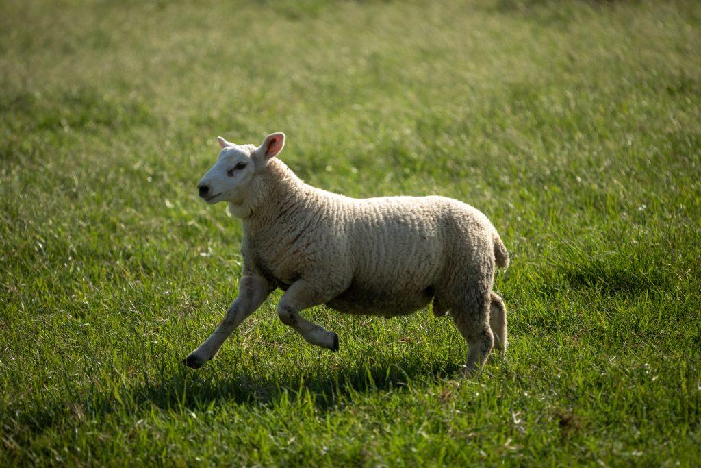 Cooperativa Castrolanda visa aumentar a eficiência do modelo reprodutivo de ovinos