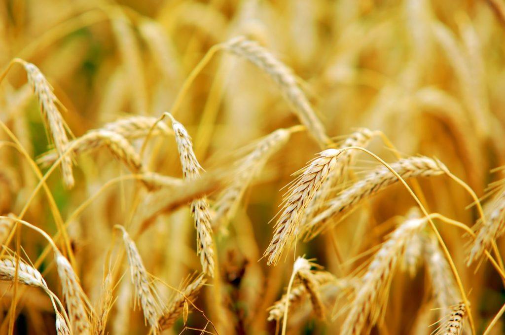 Colheita do trigo avança no PR com demanda aquecida pelo cereal