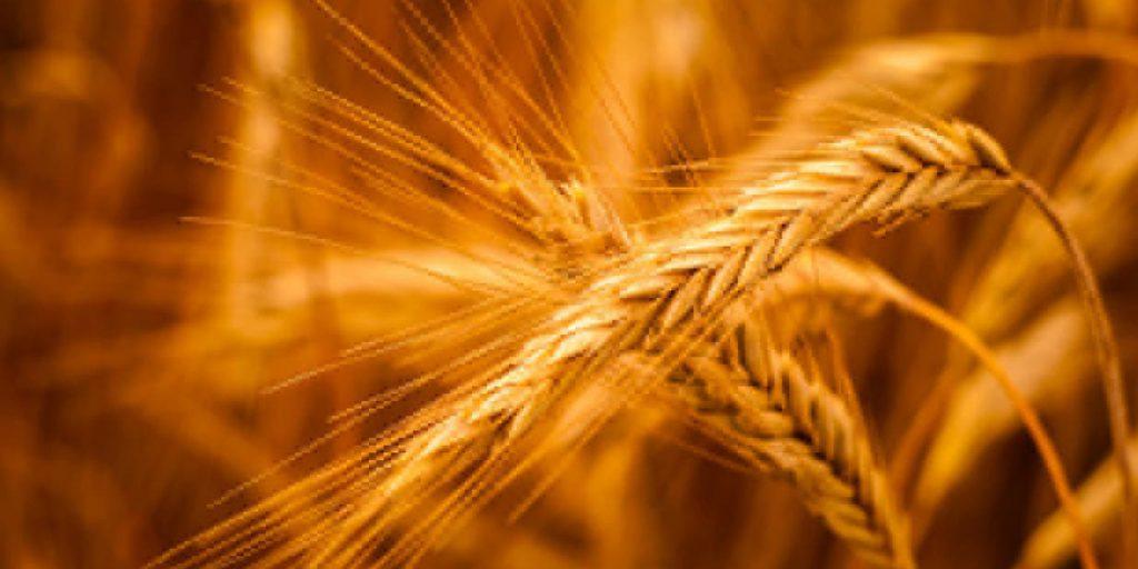 Cultivo de cevada ganha destaque no estado do Paraná