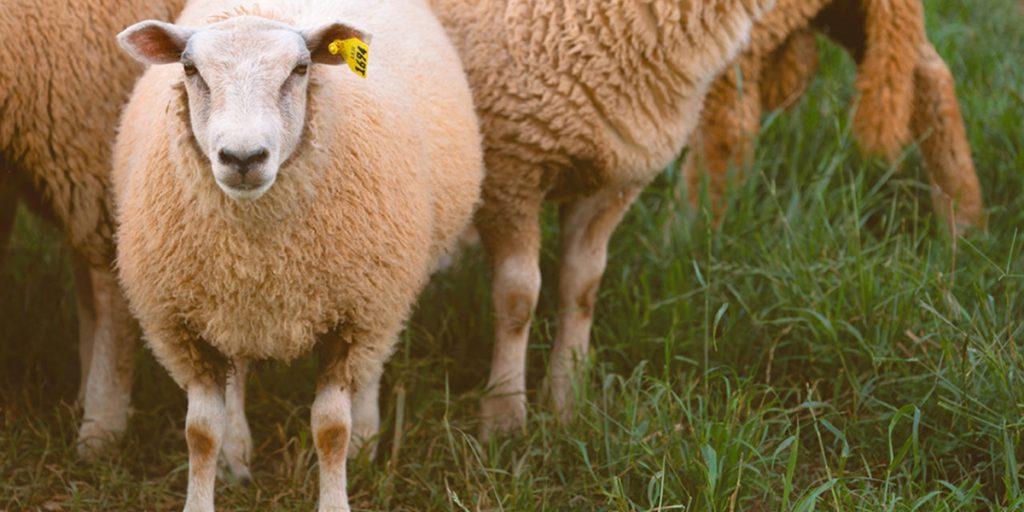 Castrolanda busca novos sócios para negócio de carne de cordeiro prime